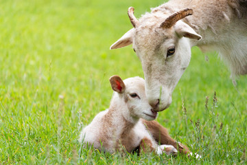 Mother and her lamb