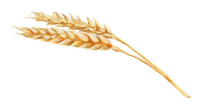 watercolor illustration of wheat spike, hand drawing