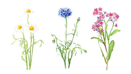 watercolor illustration of wildflowers, chamomile and cornflower, delicate isolated drawing from the hands of meadow plants
