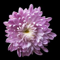 Keuken foto achterwand Dahlia one isolated pink flower chrysanthemum on black background