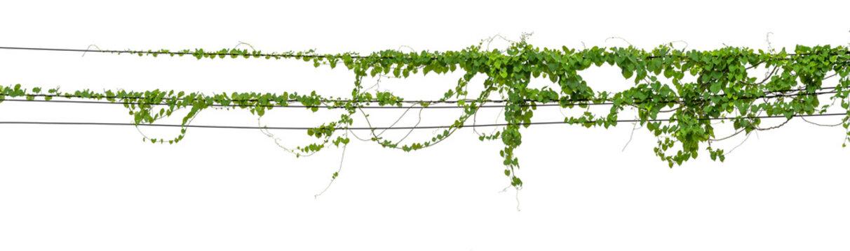 Plants ivy. Vines on poles on white background