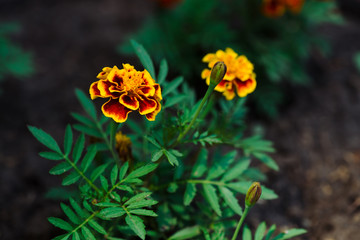 Beautiful marigolds grow among greenery. Small velvet red and yellow flowers in flowerbed close up. Background of tagetes in ground with copy space.