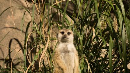 Meerkat Staredown