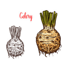 Fresh celery root sketches color and monochrome