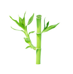 Lucky Bamboo on white background