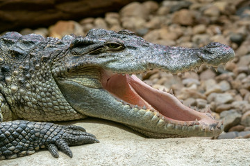 Siamese crocodile with open mouth (Crocodylus siamensis). Big mouth full of teeth