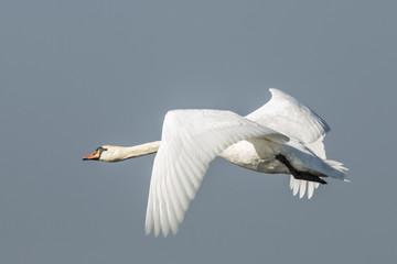 In de dag Zwaan Swan, Cygnini