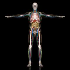 人体解剖図(男性)