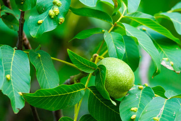 Walnuts on a tree. Disease pest on walnut leaves. Eriophyes tristriatus Nal or Nutty gall mite.