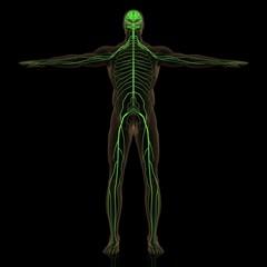 人体神経網