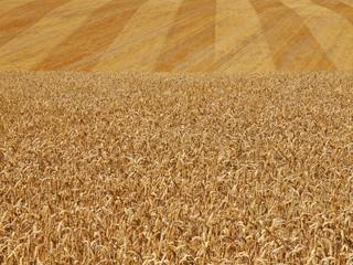 Getreidefeld mit Weizen zur Erntezeit