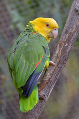 Close up of the yellow-headed parrot, otherwise known as the yellow-headed amazon. A popular pet species from south america on the endangered list of birds.