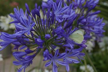 Agapanthus, Schmucklilie, Pieris Rapae, Kleiner Kohlweissling, Garten