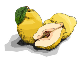 Vector illustration of drawing fruit quinces.