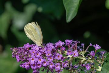 Papillon blanc (Piéride du chou) sur un arbre aux papillons