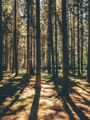 Fir forest and shadows in summer light