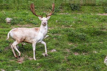 Young deer with large horns