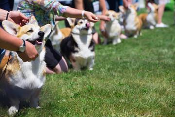 corgi dog show