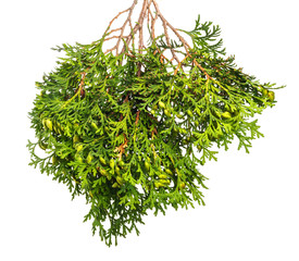 Green branch of a juniper with berries and needles on  isolated background