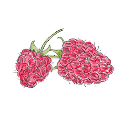 Hand drawn  watercolor raspberry isolated on white background. Sketch style vector, eco food illustration