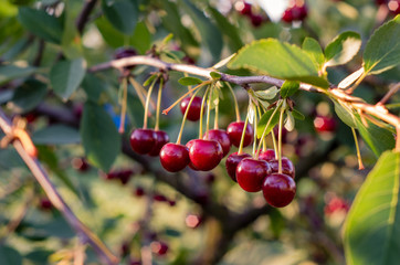 Close up of cherry fruits hanging on the tree
