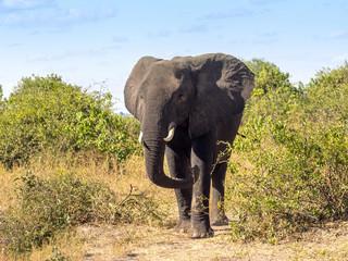 African elephant, Loxodonta africana, in bush Chobe National Park, Botswana