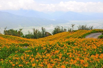 Daylily Flowers Blooming in summer in Liushidan Mountain (Sixty Stone Mountain) in Hualien, Taiwan