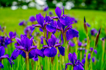 Brilliant Violet Irises in a garden with blurred background with grass and trees