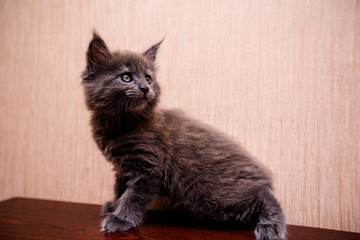 beautiful dark kitten is played Maine Coon