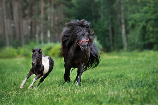 adorable shetland pony with a foal running on a field