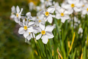 White flowers (Narcisus poeticus) in the garden