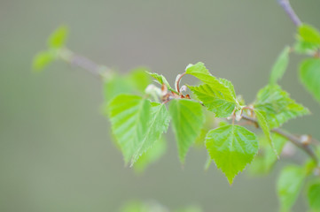 Branch of birch with leaves in spring