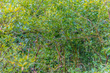 Fresh Blueberry Bushes Farm
