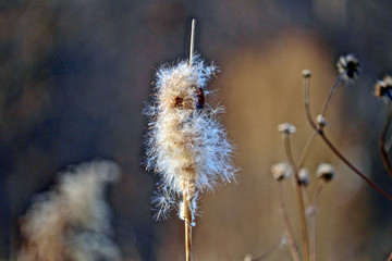 Close-up of a cattail in marshland and blurred background