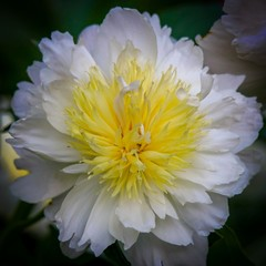 Flower white peony with yellow middle, isolated with dark background