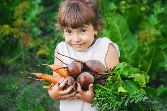 organic homemade vegetables harvest carrots and beets in the hands of a child. Selective focus.