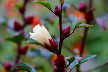 Closeup of a white hibiscus bud among colorful nature