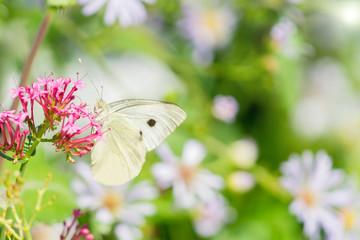 Weißer Kohlweißling Schmetterling beim bestäuben einer Blume