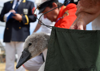 Officials record and examine cygnets and swans during the annual counting of the Queen's swans, known as 'Swan Upping', along the River Thames near Chertsey, Britain