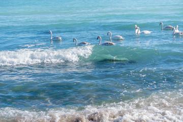 Swimming sea swans, seascape.