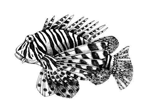 Hand drawn lionfish