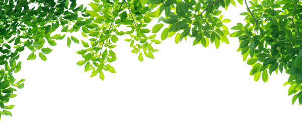 panoramic Green leaves on white background Fototapete