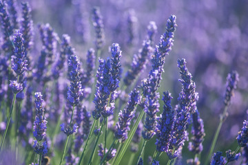 Beautiful lavender flowers in bloom.