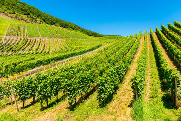 Vineyards in the Mosel Valley in Germany at springtime