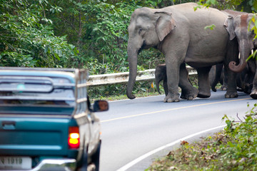 Car stopped due to elephts in the road, Thailand