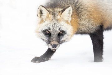 Red fox, cross colour phase, Canada
