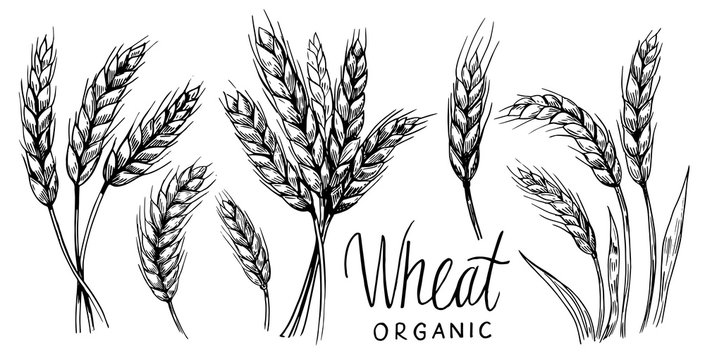Wheat ears. Vector illustration