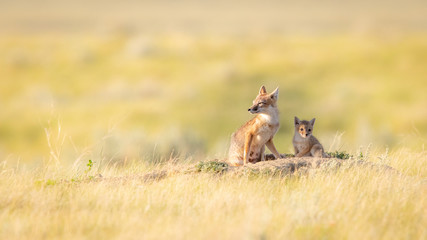 Swift Foxes, Wise Foxes on Prairies