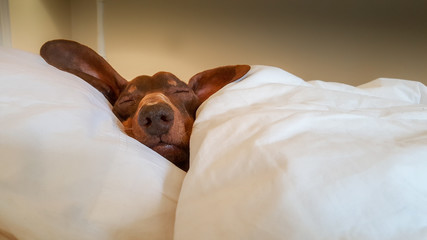 Dachshund snuggled up and asleep in human bed.