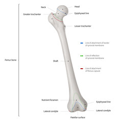 Infographic diagram of human femur bone or leg bone anatomy system anterior view- 3D- Human Anatomy- Medical Diagram- educational and Human Body concept- Isolated on white background